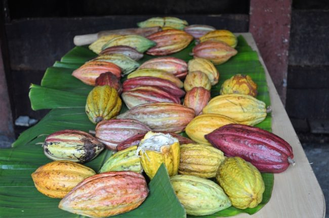 Cocoa pods on display.