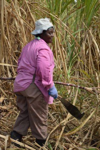 Judy Cumberbatch in the cane field.