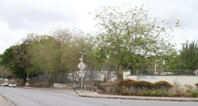 The controversial acacia trees at the Combermere School are still standing.