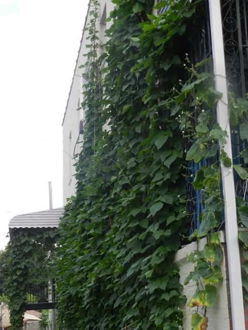 Vine with beans on side of house wall.