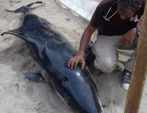 Dr Wade Seukeran with the Marine Mammal Stranding Network examines the whale found at Damien's Bay, Maracas.