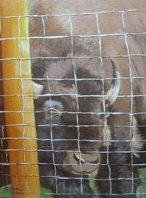 Buffalo or Bison