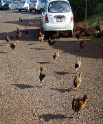 Feral chickens running wild in New Orleans
