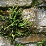Fern and rocks at Glendalough