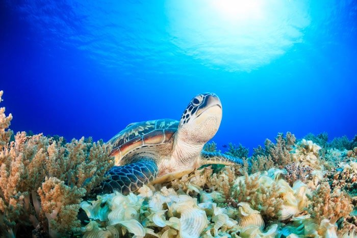 Siaba-Besar-Turtle-and-Corals-01