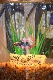 Brians betta fish_small