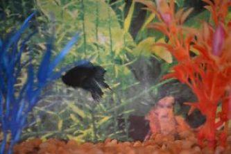 Veronica and Brians betta fish_small
