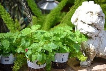 lemon balm_small