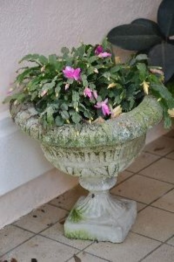 Christmas cactus finally bloomed_small