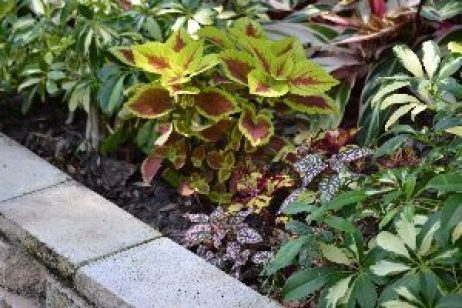 New Plants, Coleus._small