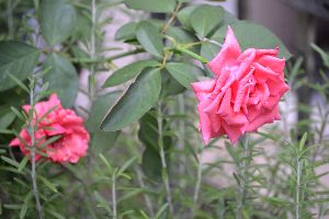 Rose Mary_small