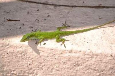 kermit the lizard_small