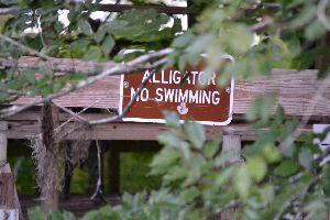 Alligator swimming_small