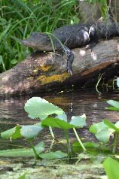 alligator slider_small