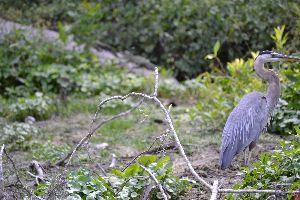 beautfiul blue heron 3_small