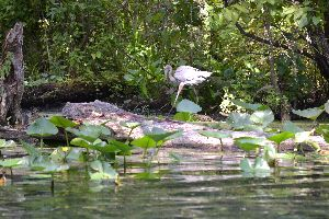 blue heron 2_small