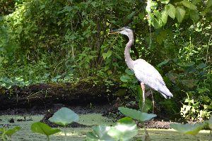 blue heron_small