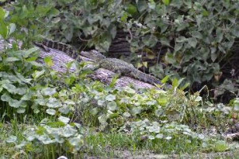 two gators on a log_small