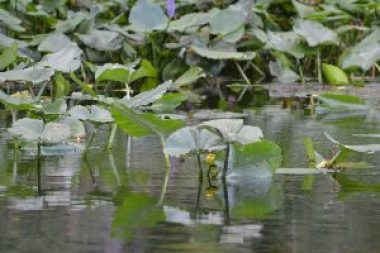 water lillies_small