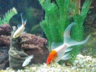 goldfish becomming massive_small