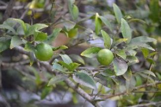 our-key-limes-from-our-backyard-tree_small