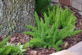 foxtail ferns 2_small