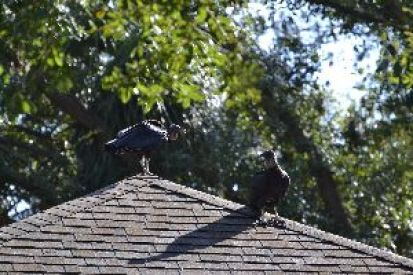 turkey vultures on Mary Pats roof_small