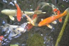 The_Larger_Koi_small
