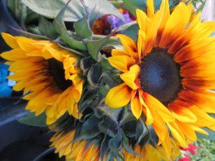 Fall bi-color Sunflowers