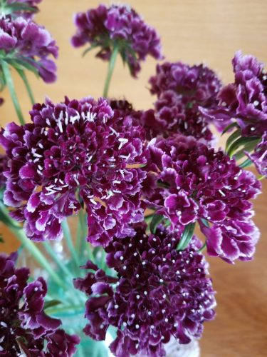 Scabiosa - Scoop