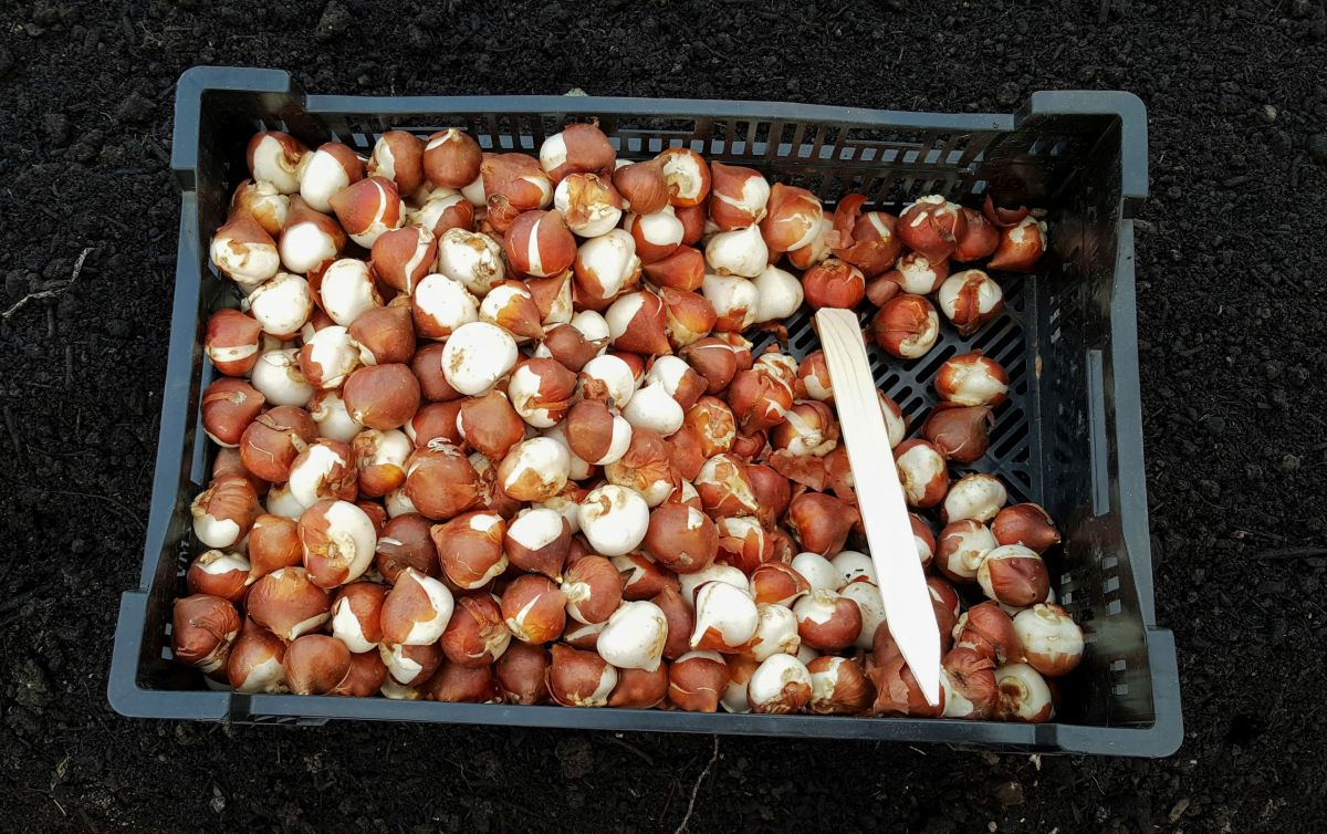 Planting Tulip Bulbs Welcome To Bare Mtn Farm