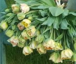 Tulip- Charming Lady