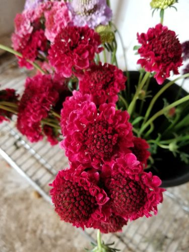 Scabiosa -Scoop