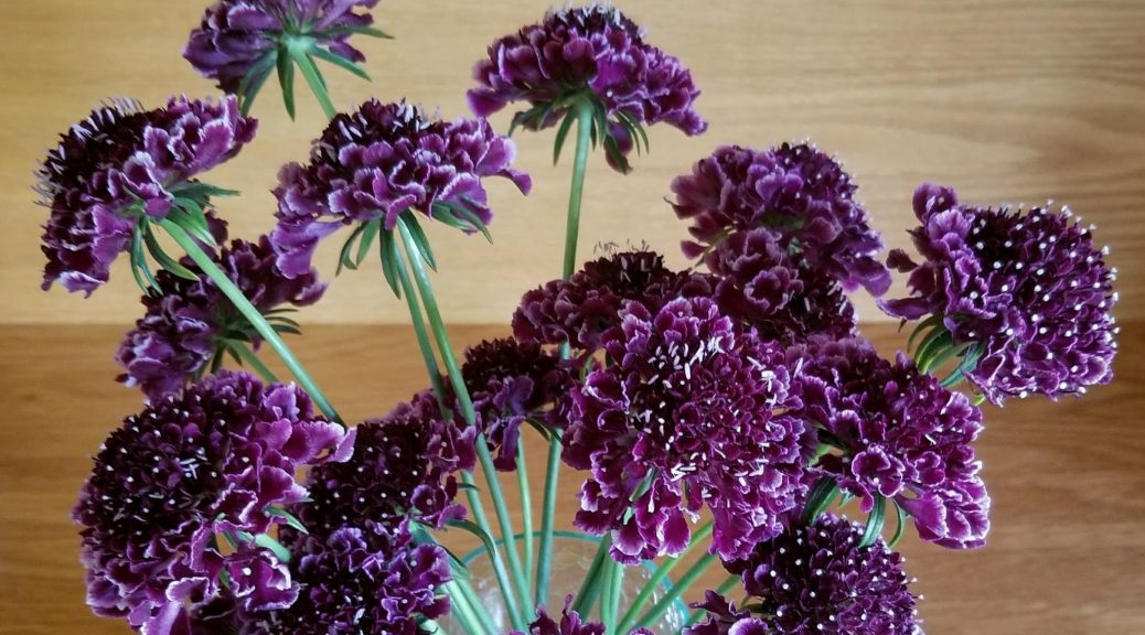 Scoop Scabiosa
