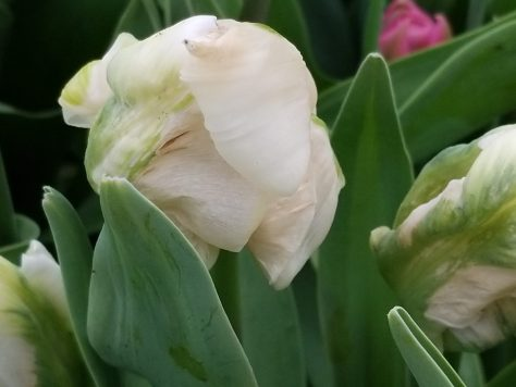 Damaged Tulip