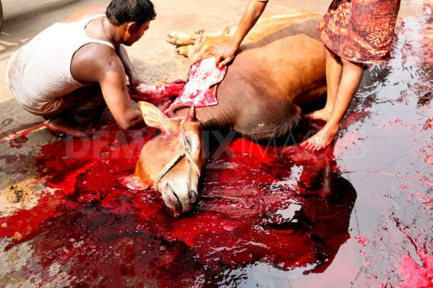 animals-sacrificed-eid-ul-adha_510460
