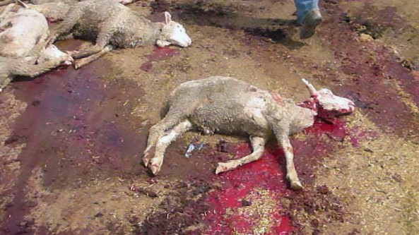 pakistan-live-export-disaster-03