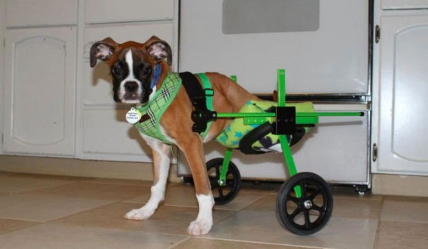 Boxer-puppy3-620x361