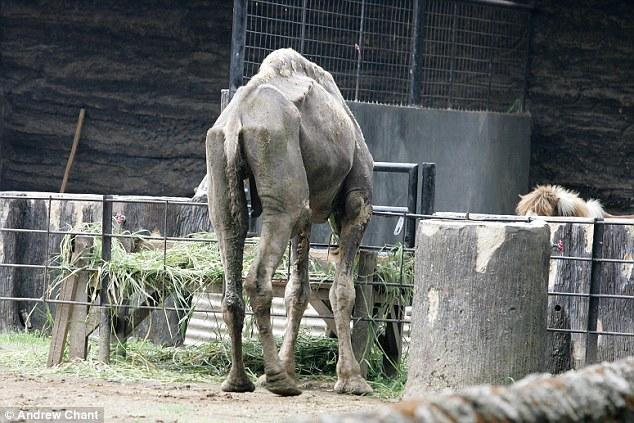 Emaciated camel