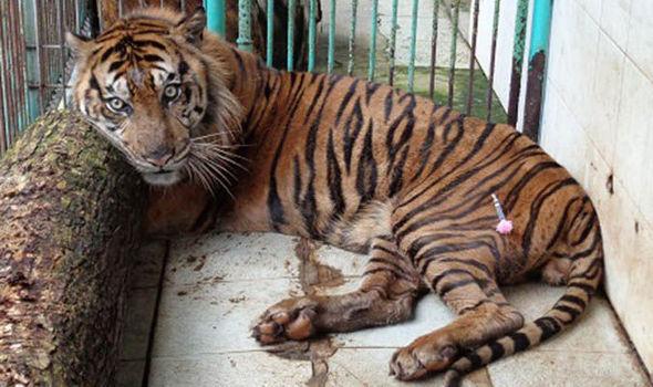 tiger-663145