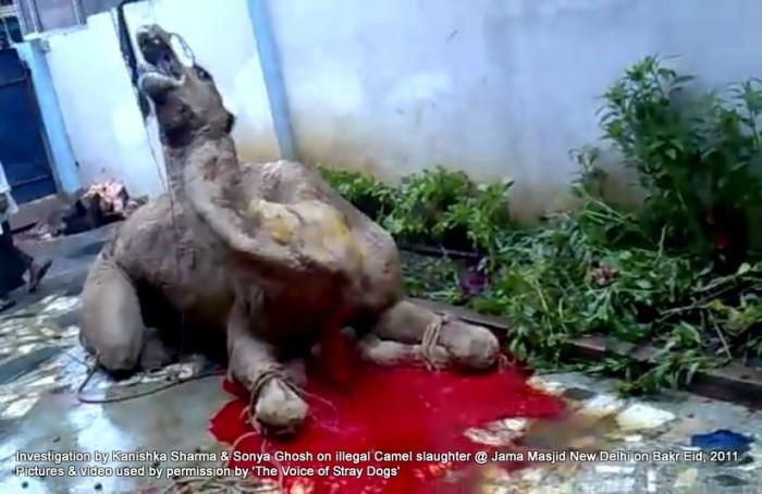 Illegal-camel-slaughter-on-Bakr-Eid-near-Jama-Masjid-in-New-Delhi-2-e13710768865291