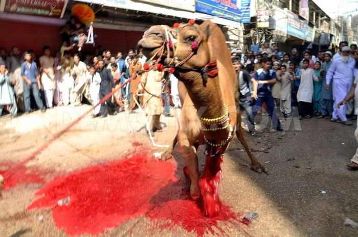 1381919EE4454-muslims-sacrifice-a-camel-in-the-street-for-eid_2969371