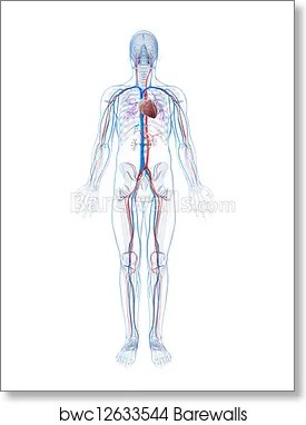 human vascular anatomy diagram jl audio wiring art print of system barewalls posters prints