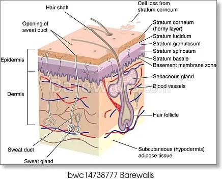 skin cross section diagram pioneer avic n1 cpn1899 wiring art print of human barewalls posters