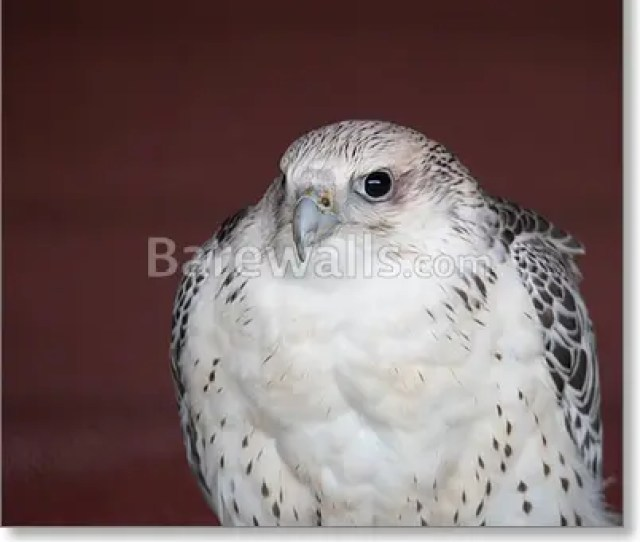 Art Print Of Peregrine Falcon The Fastest Bird