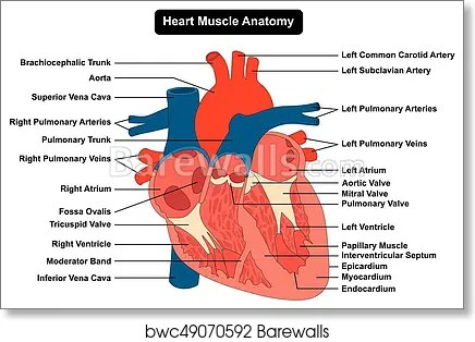 heart diagram inside 2007 dodge 3500 wiring art print of human muscle structure anatomy