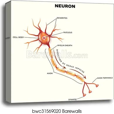 labelled diagram of nerve cell 2002 dodge trailer wiring canvas print labeled the neuron barewalls posters