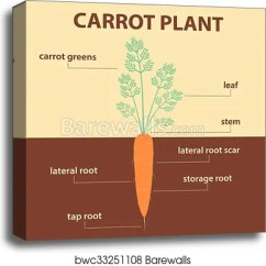 Flower Parts Diagram Without Labels 2002 Chevy Suburban Stereo Wiring Canvas Print Of Vector Showing Carrot Whole Plant Agricultural Infographic Scheme With For Education Biology Root Vegetables