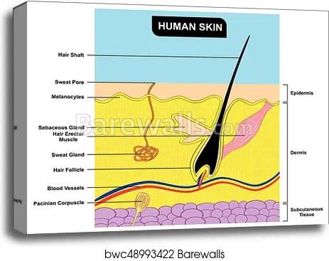 skin cross section diagram 1988 toyota 4runner stereo wiring human anatomy canvas print barewalls
