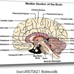 Brain Diagram Pons Four Way Switch Wiring Multiple Lights Canvas Print Of Median Section Human Barewalls